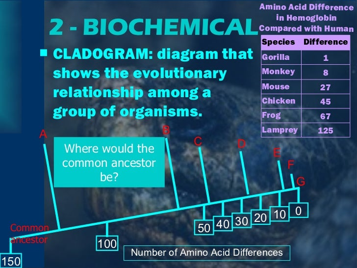 2 - BIOCHEMICAL <ul><li>CLADOGRAM: diagram that shows the evolutionary relationship among a group of organisms. </li></ul>...