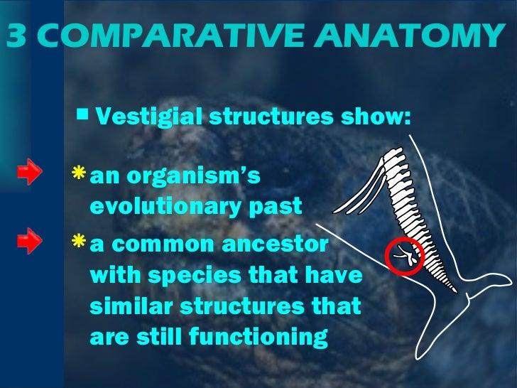 3 COMPARATIVE ANATOMY <ul><li>Vestigial structures show: </li></ul><ul><li>an organism's evolutionary past </li></ul><ul><...