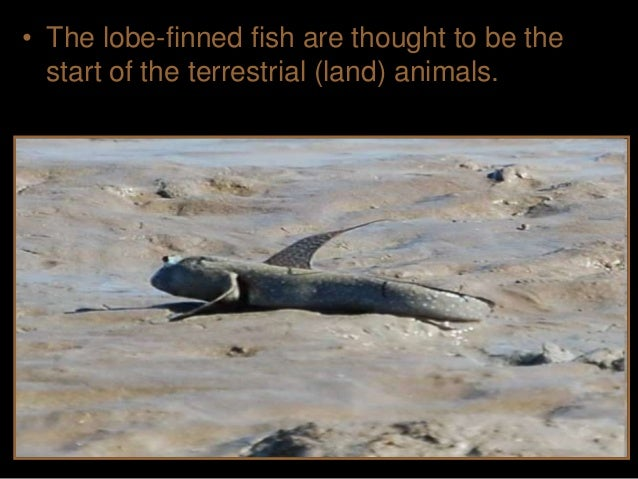 • One theory suggests that land animals developed when smaller bodies of water periodically dried up. – Being able to craw...