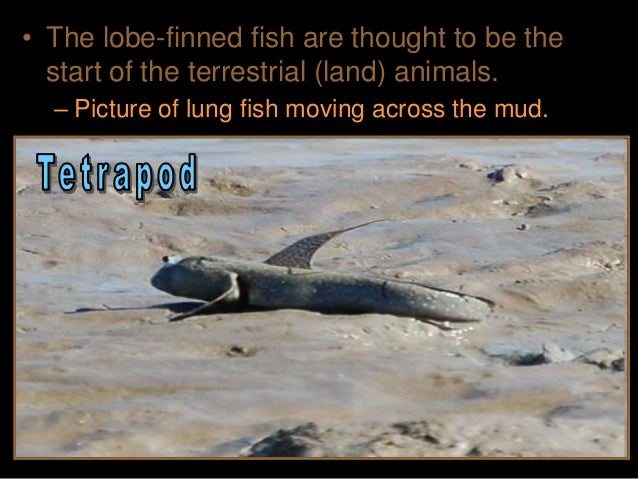 • Another theory – Lunged gulping fish could to avoid predation in the aquatic habitats by climbing into the shallows and ...