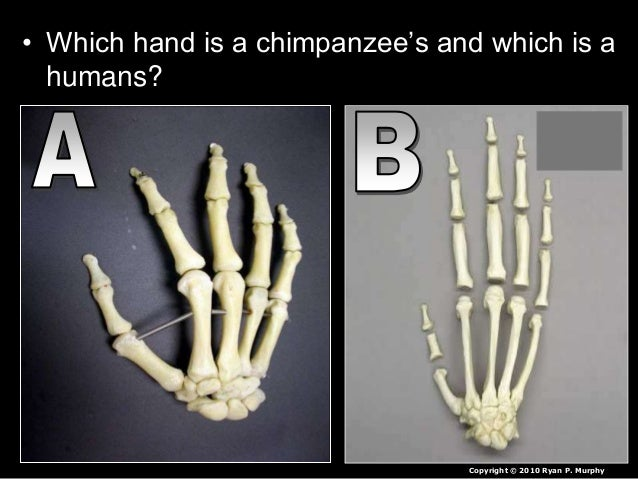 • Which hand is a chimpanzee's and which is a humans? Copyright © 2010 Ryan P. Murphy