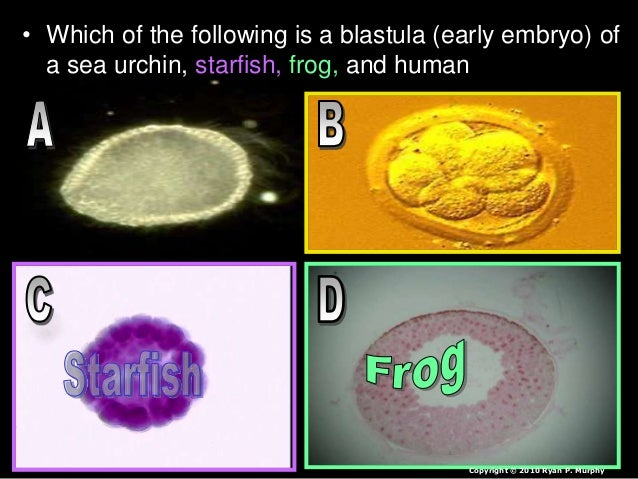• Which of the following is a blastula (early embryo) of a sea urchin, starfish, frog, and human Copyright © 2010 Ryan P. ...