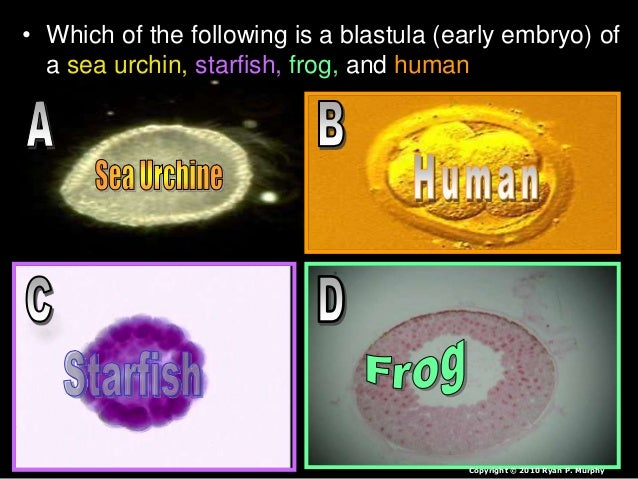 • Which of the embryos below is a human, chicken, fish, and cat? Human Copyright © 2010 Ryan P. Murphy