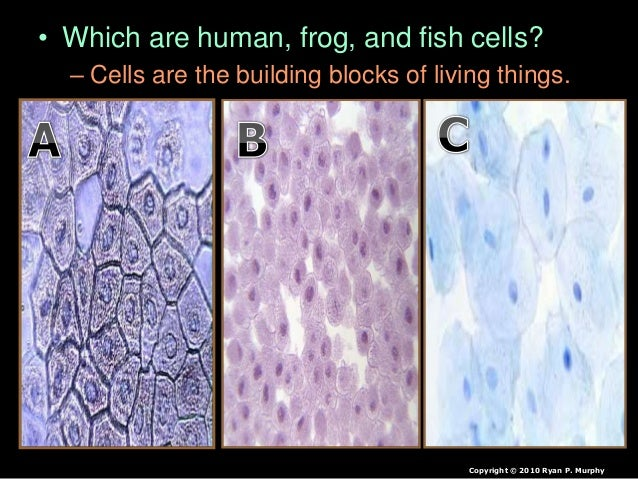 • Which are human, frog, and fish cells? – Cells are the building blocks of living things. Copyright © 2010 Ryan P. Murphy