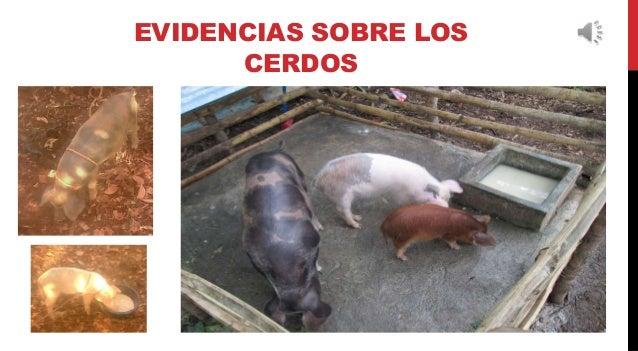 EVIDENCIAS SOBRE LOS CERDOS