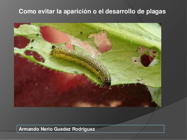 Armando Nerio Guedez Rodriguez Como evitar la aparici�n o el desarrollo de plagas