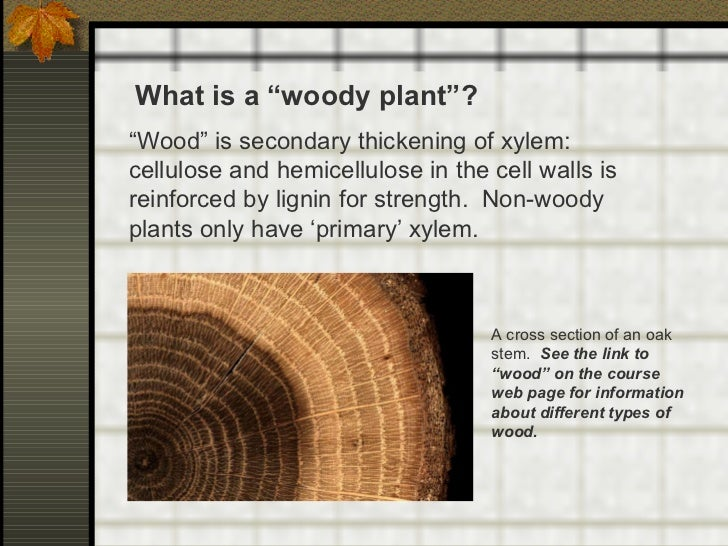 """What is a """"woody plant""""? """" Wood"""" is secondary thickening of xylem:  cellulose and hemicellulose in the cell walls is reinf..."""
