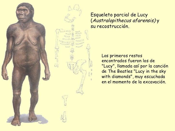 Esqueleto parcial de Lucy ( Australopithecus afarensis)  y su recostrucción. Los primeros restos encontrados fueron los de...