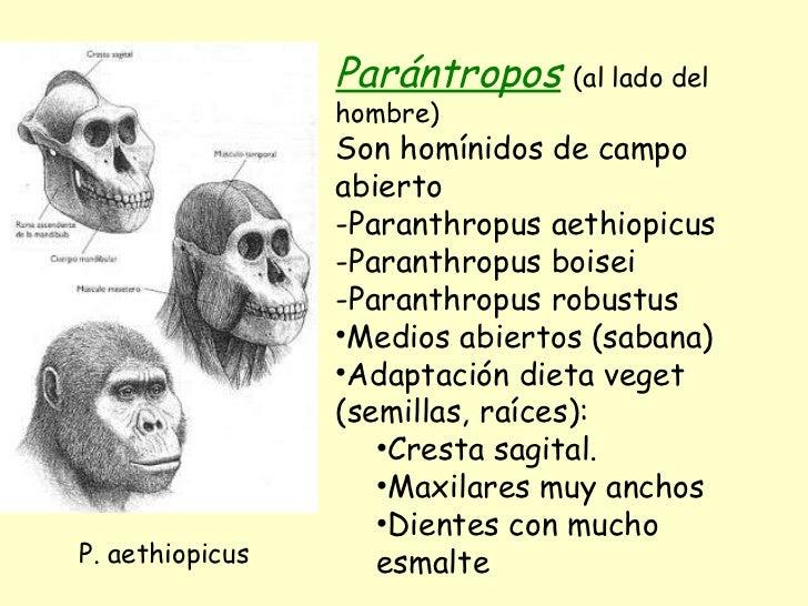 <ul><li>Parántropos   (al lado del hombre) </li></ul><ul><li>Son homínidos de campo abierto </li></ul><ul><li>Paranthropus...