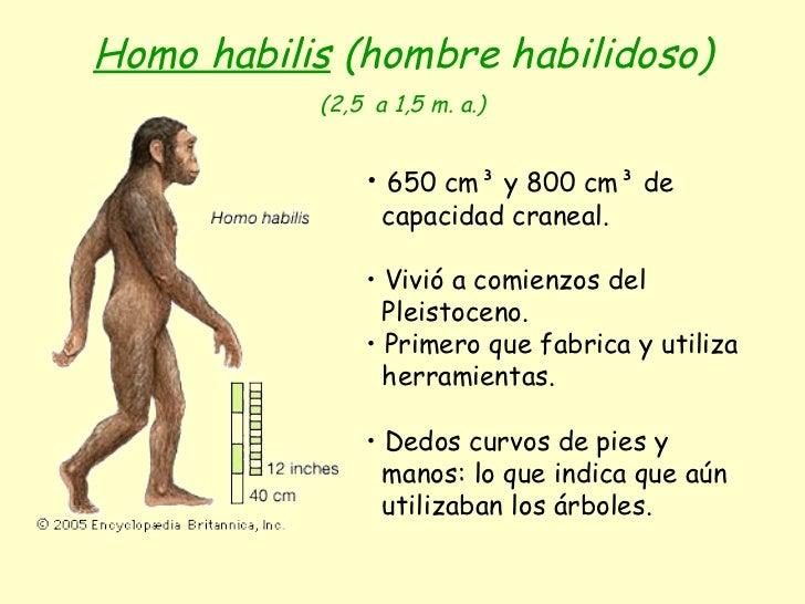 Homo habilis  (hombre habilidoso) (2,5  a 1,5 m. a.) <ul><li>650 cm³ y 800 cm³ de </li></ul><ul><li>capacidad craneal. </l...