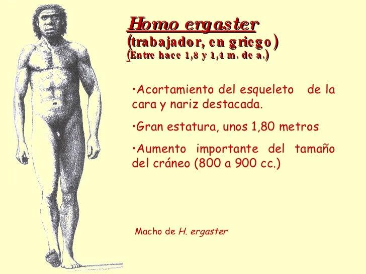 Homo ergaster   (trabajador, en griego) ( Entre hace 1,8 y 1,4 m. de a.) Macho de  H. ergaster <ul><li>Acortamiento del es...