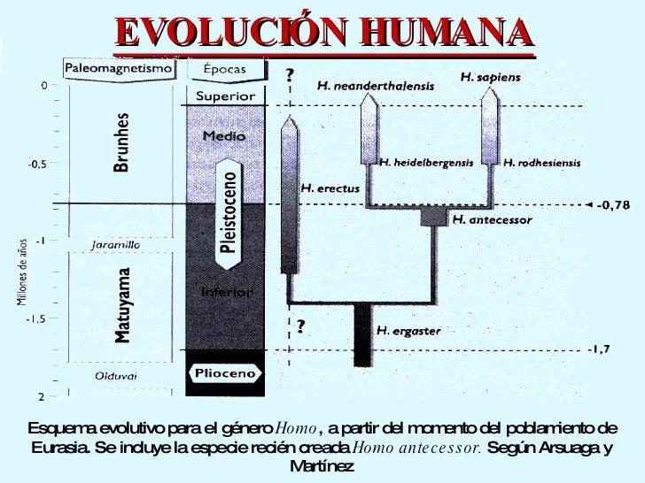 EVOLUCIÓN HUMANA Esquema evolutivo para el género  Homo , a partir del momento del poblamiento de Eurasia. Se incluye la e...