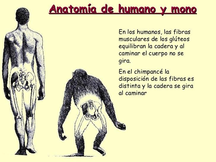 Anatomía de humano y mono En los humanos, las fibras musculares de los glúteos equilibran la cadera y al caminar el cuerpo...