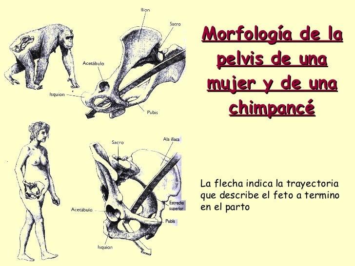 Morfología de la pelvis de una mujer y de una chimpancé La flecha indica la trayectoria que describe el feto a termino en ...