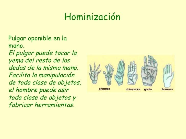 Hominización Pulgar oponible en la mano. El pulgar puede tocar la yema del resto de los dedos de la misma mano. Facilita l...