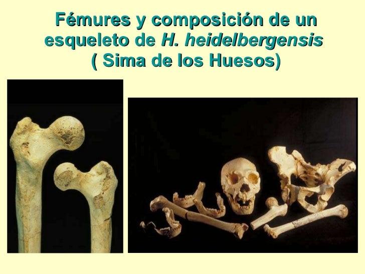 Fémures y composición de un esqueleto de  H. heidelbergensis  ( Sima de los Huesos)