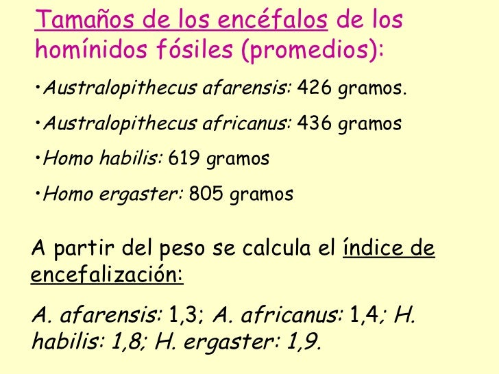 <ul><li>Tamaños de los encéfalos  de los homínidos fósiles (promedios): </li></ul><ul><li>Australopithecus afarensis:  426...