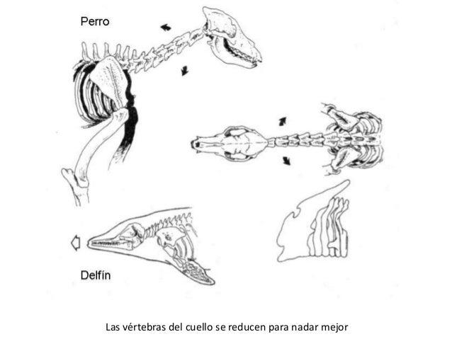 Ejemplo de analogía1. Tiburón (pez cartilaginoso)2. Pez espada (pez óseo)3. Ictiosaurio (reptil fósil)4. Delfin (mamífero)...