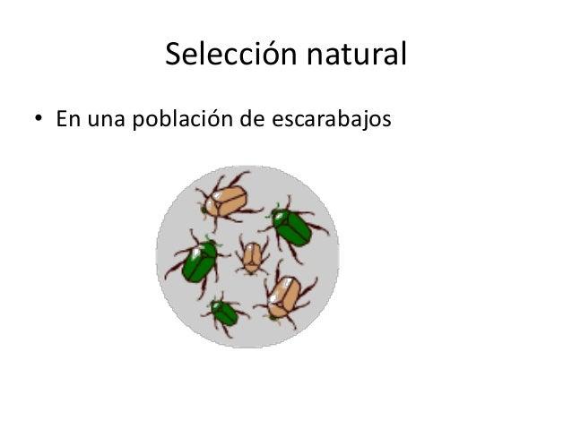 Biston betularia.Selección contra un alelo recesivo