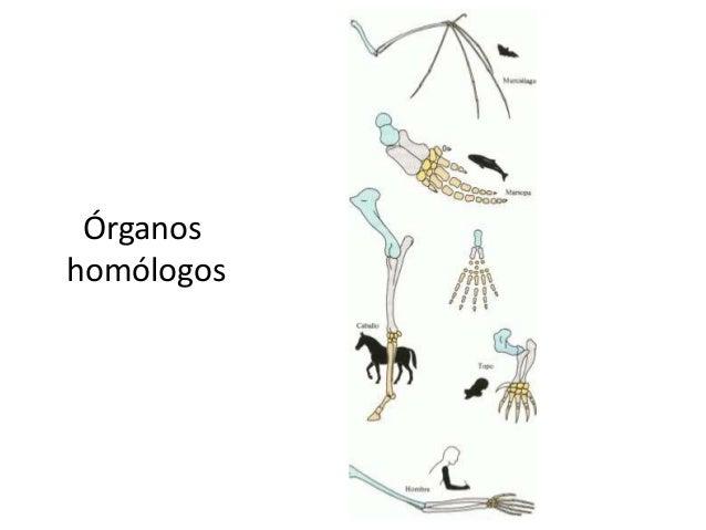 Órganoshomólogos