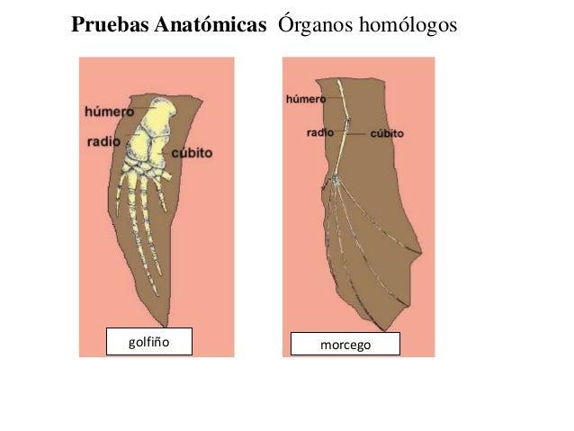 Pruebas Anatómicas Órganos homólogosgolfiño morcego