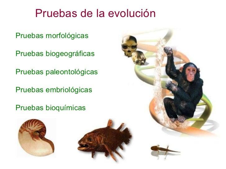 Pruebas de la evolución Pruebas morfológicas Pruebas biogeográficas Pruebas paleontológicas Pruebas embriológicas Pruebas ...