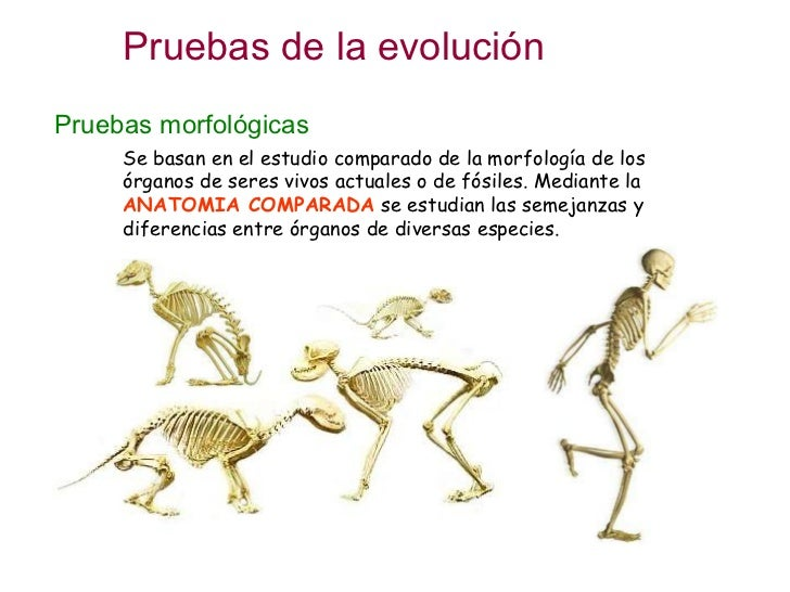 Evolución 2.- Pruebas evolutivas