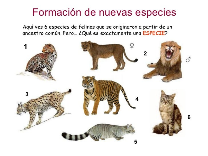 Formación de nuevas especies Aquí ves 6 especies de felinos que se originaron a partir de un ancestro común. Pero… ¿Qué es...