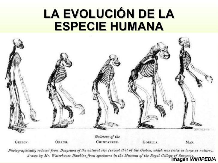 LA EVOLUCIÓN DE LA ESPECIE HUMANA Imagen  WIKIPEDIA