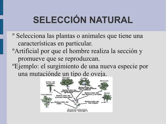 SELECCIÓN NATURALº Selecciona las plantas o animales que tiene una  características en particular.ºArtificial por que el h...