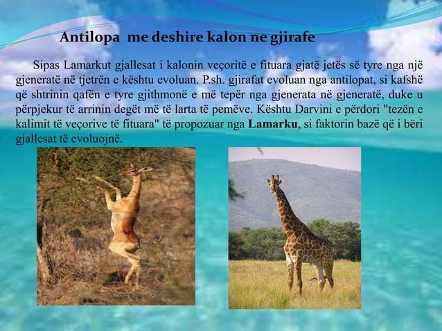 Antilopa me deshire kalon ne gjirafe Sipas Lamarkut gjallesat i kalonin veçoritë e fituara gjatë jetës së tyre nga një gje...