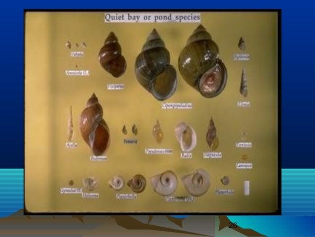 Klasifikasi Gastropoda Laut