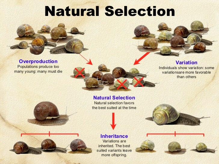 How Does Evolution Work Through Natural Selection