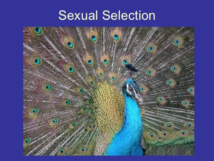sexual selection psychology The status of sexual selection in evolutionary psychology view the pbs (2001) evolution video sex to get an overview of the factors involved in sexual selection the peacock fascinated darwin : how could natural selection alone have led to such an elaborate plumage.