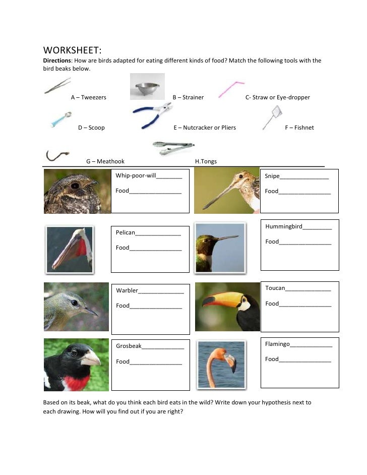 Evolution beaks modified worksheet – Evolution Worksheet