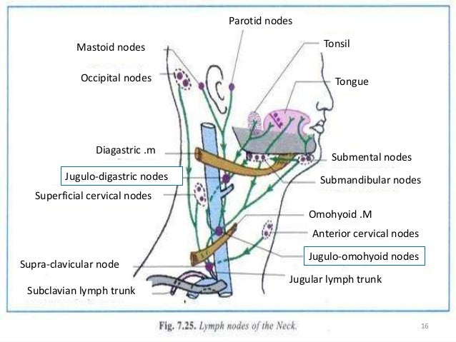 Examination of lymph nodes of head and neck 15 16 tonsil tongue submental nodes ccuart Choice Image