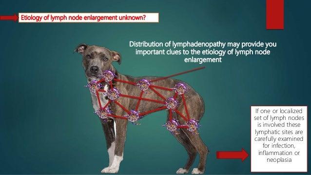 prescapular lymph node dog swollen