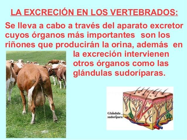 LA EXCRECIÓN EN LOS VERTEBRADOS: Se lleva a cabo a través del aparato excretor cuyos órganos más importantes son los riñon...