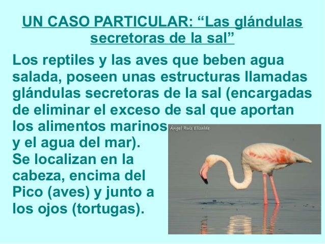 """UN CASO PARTICULAR: """"Las glándulas secretoras de la sal"""" Los reptiles y las aves que beben agua salada, poseen unas estruc..."""