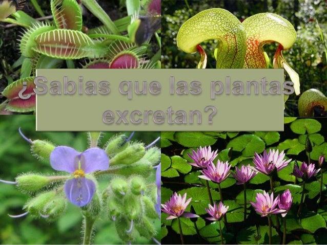 En los vegetales no existe una excreción propiamente dicha ya que notienen estructuras especializadas para realizar esta f...