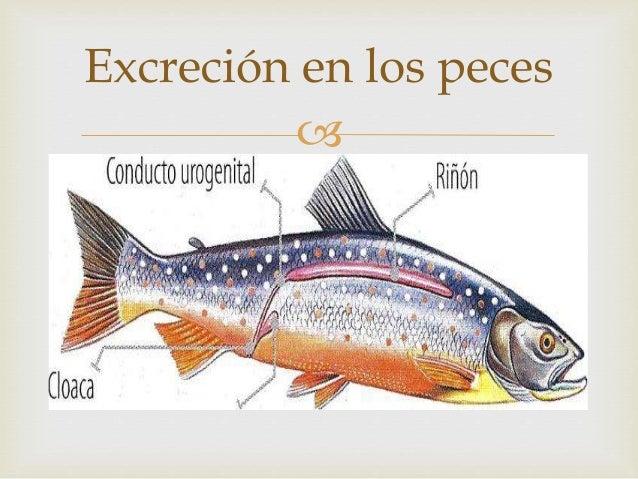 Excrecion en los animales for Como se cultivan los peces