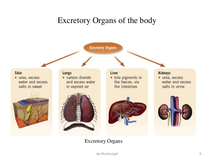 Image result for organs of excretion