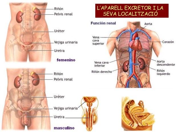 http://cplosangeles.juntaextremadura.net/web/edilim/tercer_ciclo/cmedio/las_funciones_vitales/la_funcion_de_nutricion/excrecion/el_aparato_excretor/el_aparato_excretor.html