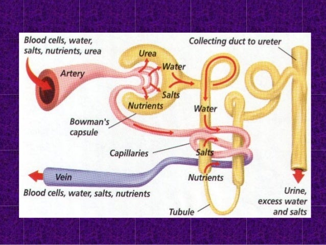 Reabsorption • Materials reabsorbed by… – ACTIVE TRANSPORT • NaCl,nutrients (glucose & amino acids) – PASSIVE TRANSPORT • ...