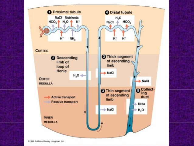 Had enough water? • ADH levels DECREASES • LESS water is retained • Urine is NOT concentrated