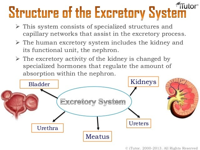 an essay on the excretory system of the human body Excretory system excretion is the removal of waste products of metabolism from our body system contents •1 excretory functions •2 component organs o2 1 lungs o2.