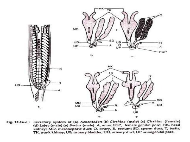 excretory system of fishes