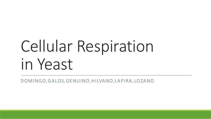 rate of respiration of yeast Yeast respiration, wince the rate is solely determined by the type of food test your hypothesis: 1 label the two large graduated tubes and the two large cups -1.