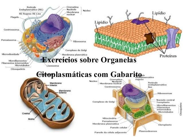 Exercícios sobre Organelas  Citoplasmáticas com Gabarito