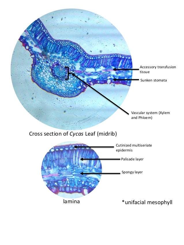 Anatomy of monocot stem